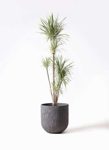 観葉植物 コンシンネ ホワイポリー 10号 ストレート カルディナダークグレイ 付き