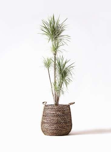 観葉植物 コンシンネ ホワイポリー 10号 ストレート リゲル 茶 付き