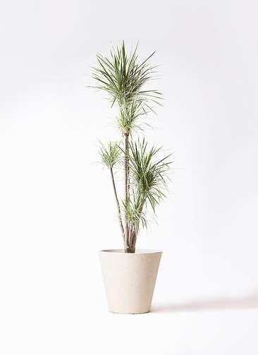 観葉植物 コンシンネ ホワイポリー 10号 ストレート フォリオソリッド クリーム 付き
