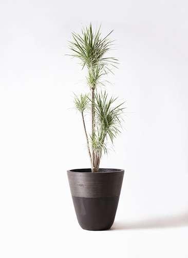 観葉植物 コンシンネ ホワイポリー 10号 ストレート ジュピター 黒 付き