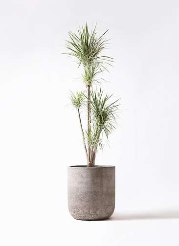 観葉植物 コンシンネ ホワイポリー 10号 ストレート エルバ 白 付き