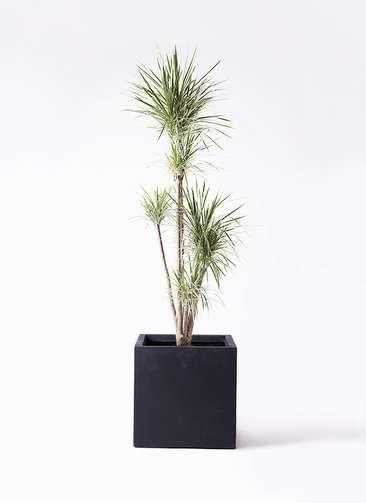 観葉植物 コンシンネ ホワイポリー 10号 ストレート ベータ キューブプランター 黒 付き