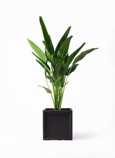 観葉植物 旅人の木 10号 ブリティッシュキューブ 付き