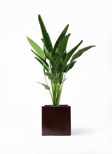 観葉植物 旅人の木 10号 MOKU キューブ 付き