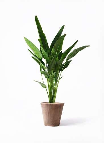 観葉植物 旅人の木 10号 ルーガ アンティコ ソリッド 付き