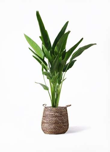 観葉植物 旅人の木 10号 リゲル 茶 付き