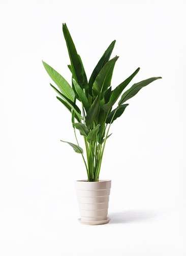 観葉植物 旅人の木 10号 サバトリア 白 付き