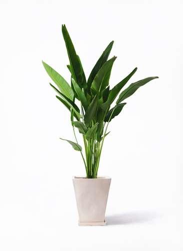 観葉植物 旅人の木 10号 スクエアハット 白 付き