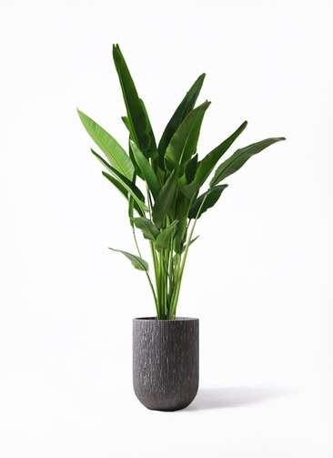 観葉植物 旅人の木 10号 カルディナトールダークグレイ 付き