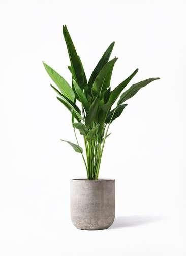 観葉植物 旅人の木 10号 エルバ 白 付き
