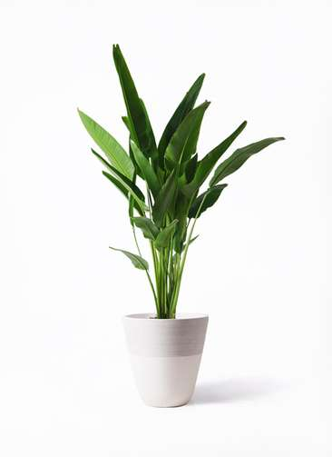 観葉植物 旅人の木 10号 ジュピター 白 付き