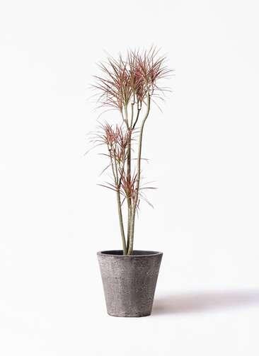 観葉植物 ドラセナ コンシンネ レインボー 8号 ストレート フォリオソリッド ブラックウォッシュ 付き