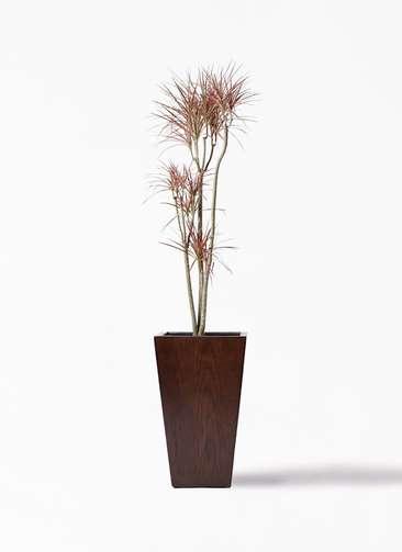 観葉植物 ドラセナ コンシンネ レインボー 8号 ストレート MOKU スクエア 付き