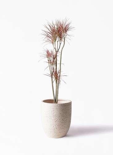 観葉植物 ドラセナ コンシンネ レインボー 8号 ストレート ビアスアルトエッグ 白 付き