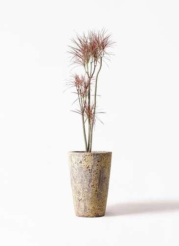 観葉植物 ドラセナ コンシンネ レインボー 8号 ストレート アトランティス クルーシブル 付き