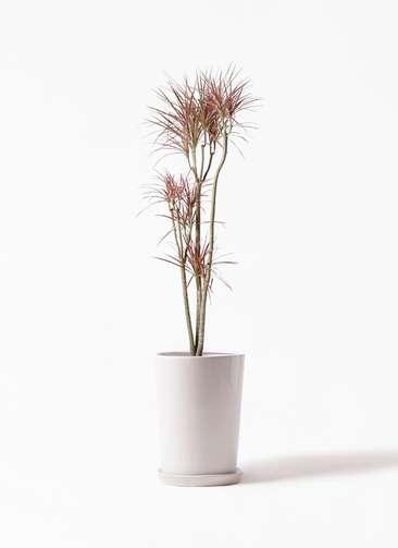 観葉植物 ドラセナ コンシンネ レインボー 8号 ストレート LO ラウンド 付き