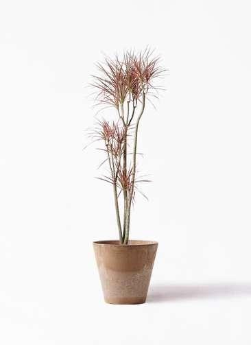 観葉植物 ドラセナ コンシンネ レインボー 8号 ストレート アートストーン ラウンド ベージュ 付き