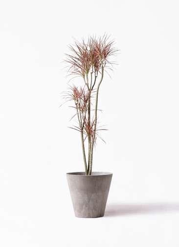 観葉植物 ドラセナ コンシンネ レインボー 8号 ストレート アートストーン ラウンド グレー 付き