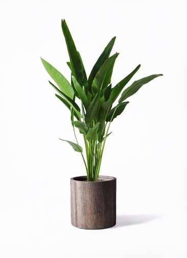 観葉植物 旅人の木 10号 アルファシリンダープランター 付き