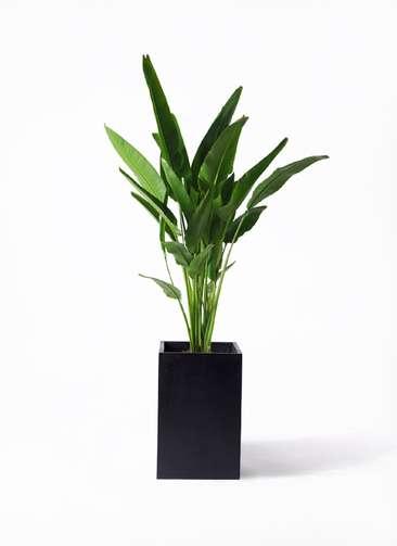 観葉植物 旅人の木 10号 セドナロング 墨 付き