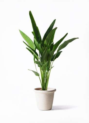 観葉植物 旅人の木 10号 ビアスリムス 白 付き