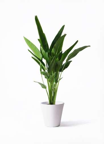 観葉植物 旅人の木 10号 フォリオソリッド 白 付き