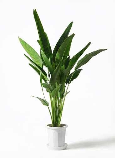 観葉植物 旅人の木 10号 プラスチック鉢