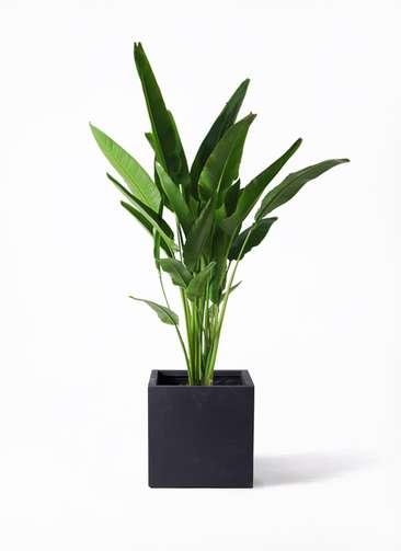 観葉植物 旅人の木 10号 ベータ キューブプランター 黒 付き