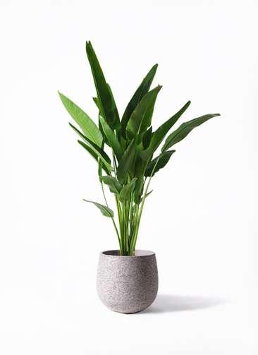 観葉植物 旅人の木 10号 エコストーンGray 付き