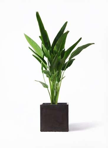 観葉植物 旅人の木 10号 ファイバークレイ 付き