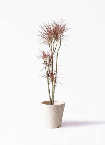 観葉植物 ドラセナ コンシンネ レインボー 8号 ストレート ビアスソリッド 白 付き