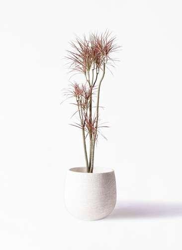 観葉植物 ドラセナ コンシンネ レインボー 8号 ストレート エコストーンwhite 付き