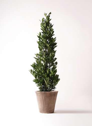 観葉植物 月桂樹 10号 ルーガ アンティコ ソリッド 付き