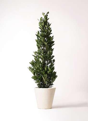 観葉植物 月桂樹 10号 フォリオソリッド クリーム 付き