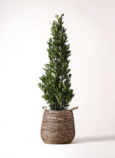 観葉植物 月桂樹 10号 リゲル 茶 付き