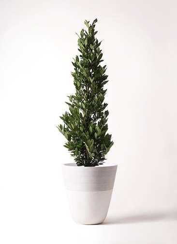 観葉植物 月桂樹 10号 ジュピター 白 付き