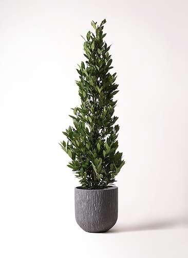 観葉植物 月桂樹 10号 カルディナダークグレイ 付き