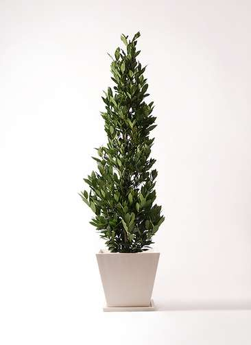 観葉植物 月桂樹 10号 パウダーストーン 白 付き