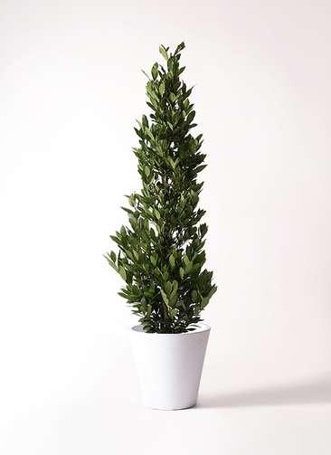 観葉植物 月桂樹 10号 フォリオソリッド 白 付き