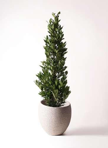 観葉植物 月桂樹 10号 エコストーンLight Gray 付き
