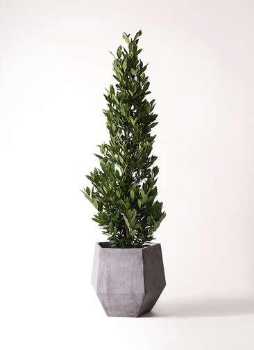 観葉植物 月桂樹 10号 ファイバークレイGray 付き