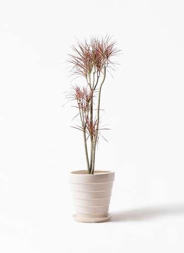 観葉植物 ドラセナ コンシンネ レインボー 8号 ストレート サバトリア 白 付き