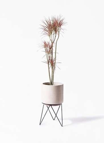 観葉植物 ドラセナ コンシンネ レインボー 8号 ストレート ビトロ エンデカ 鉢カバースタンド付 クリーム 付き
