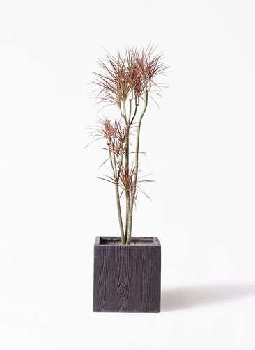 観葉植物 ドラセナ コンシンネ レインボー 8号 ストレート ベータ キューブプランター ウッド 茶 付き