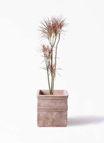 観葉植物 ドラセナ コンシンネ レインボー 8号 ストレート テラアストラ カペラキュビ 赤茶色 付き