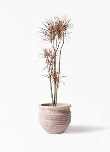 観葉植物 ドラセナ コンシンネ レインボー 8号 ストレート テラアストラ リゲル 赤茶色 付き