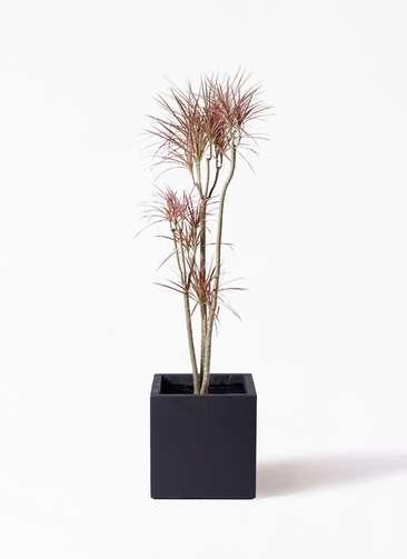 観葉植物 ドラセナ コンシンネ レインボー 8号 ストレート ベータ キューブプランター 黒 付き