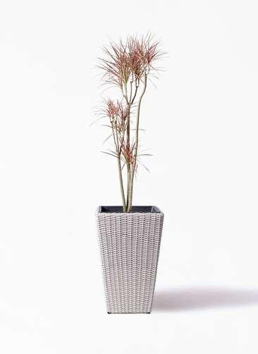 観葉植物 ドラセナ コンシンネ レインボー 8号 ストレート ウィッカーポット スクエアロング OT 白 付き