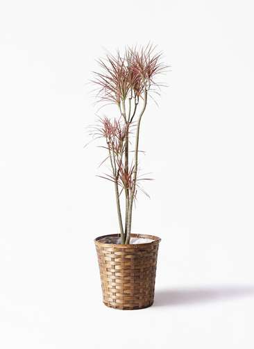 観葉植物 ドラセナ コンシンネ レインボー 8号 ストレート 竹バスケット 付き