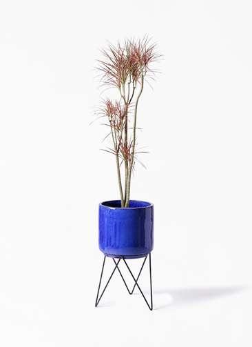 観葉植物 ドラセナ コンシンネ レインボー 8号 ストレート ビトロ エンデカ 鉢カバースタンド付 ブルー 付き